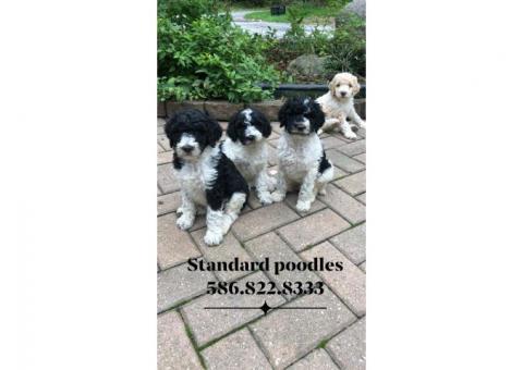 AKC Standard Parti Poodle Puppies - Non Shedding